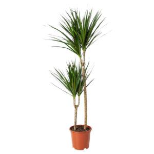 Plante DRACAENA