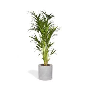Plante KENTIA